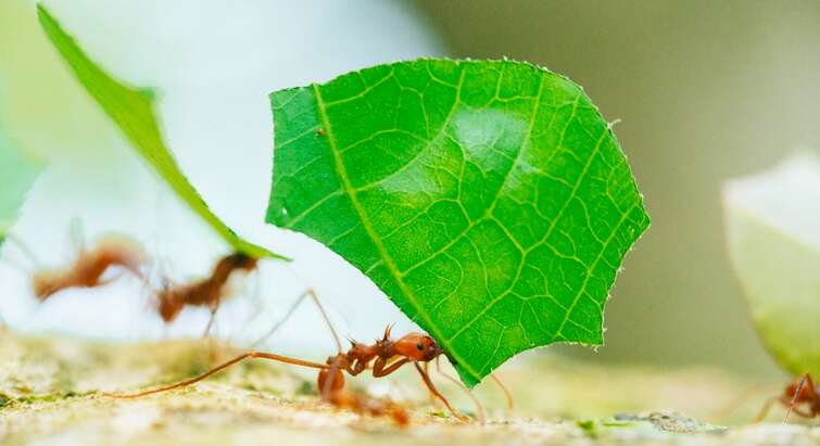 Photo of a leafcutter ant