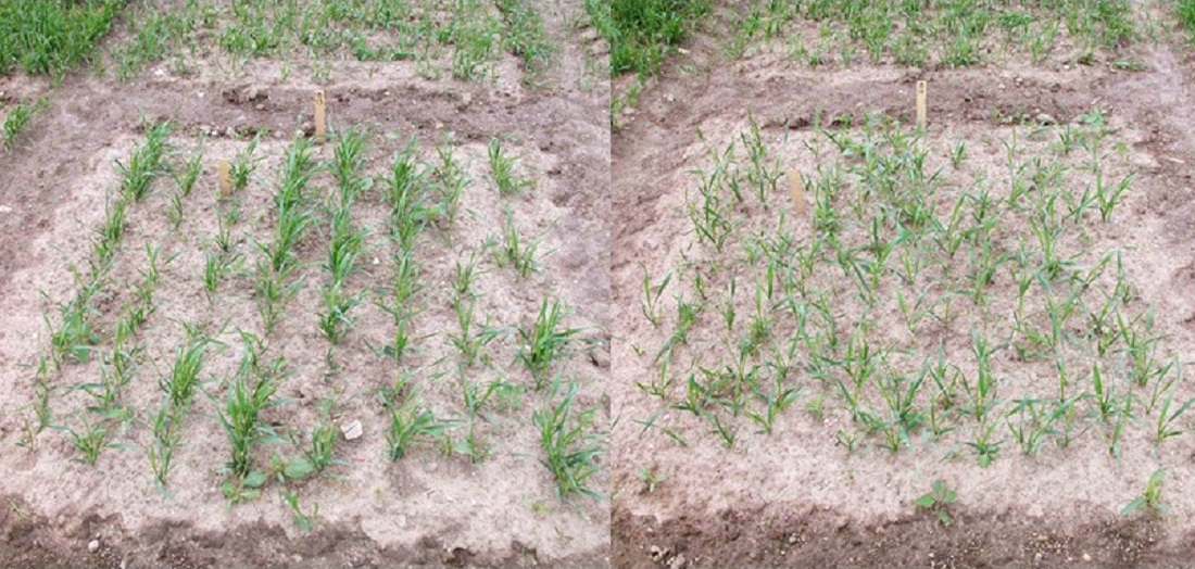 Left: Wheat sown in straight rows. Right: Wheat sown in uniform grid patterns
