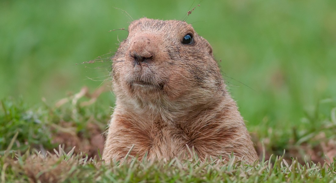 Photo of a marmot in grass
