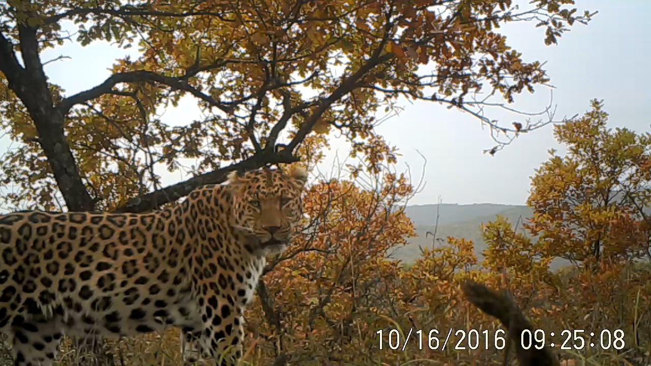 Photo of a north chinese leopard, Beijing Normal University