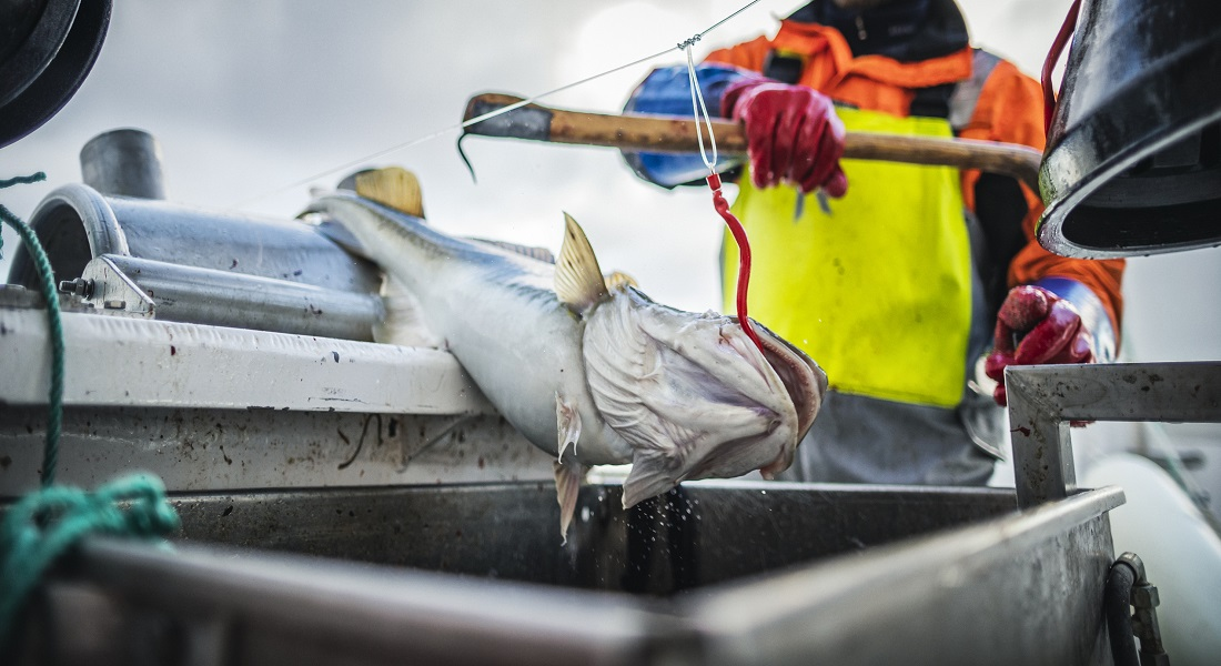 Photo of a fish being dragged onto a ship