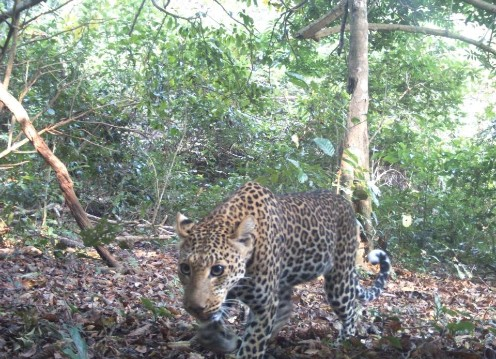 A leopard walks through a densely forested area