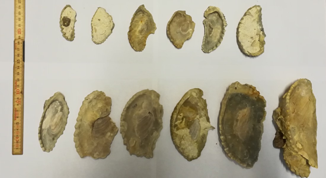 Here you see a selection of oyster shells that the researchers have dug out from the sediment in Kristianstad-bassin. Photo: Nicolas Thibault
