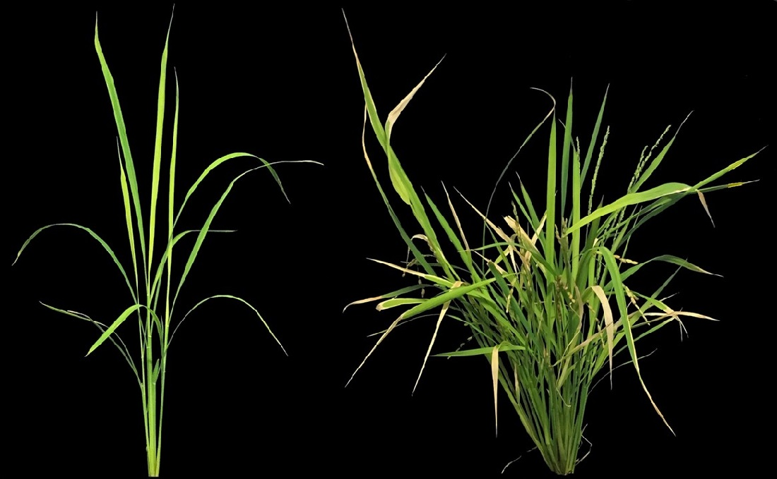 The rice plant to the left has a natural level of LITTLE NINJA, while the plant to the right has an increased level.