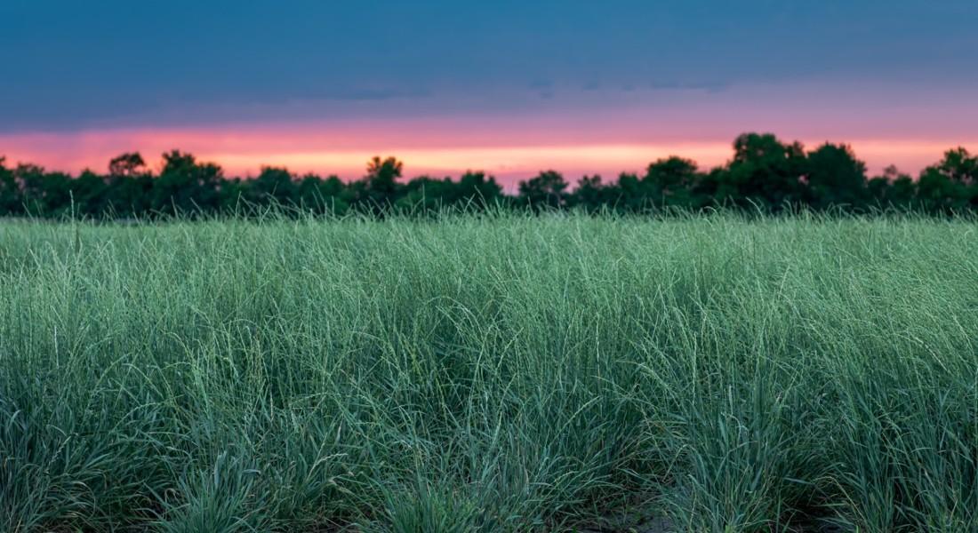 Photo of wheatgrass by Kernza.org/Landinstitute.org