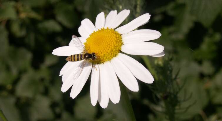 Syrphids on Chamomile